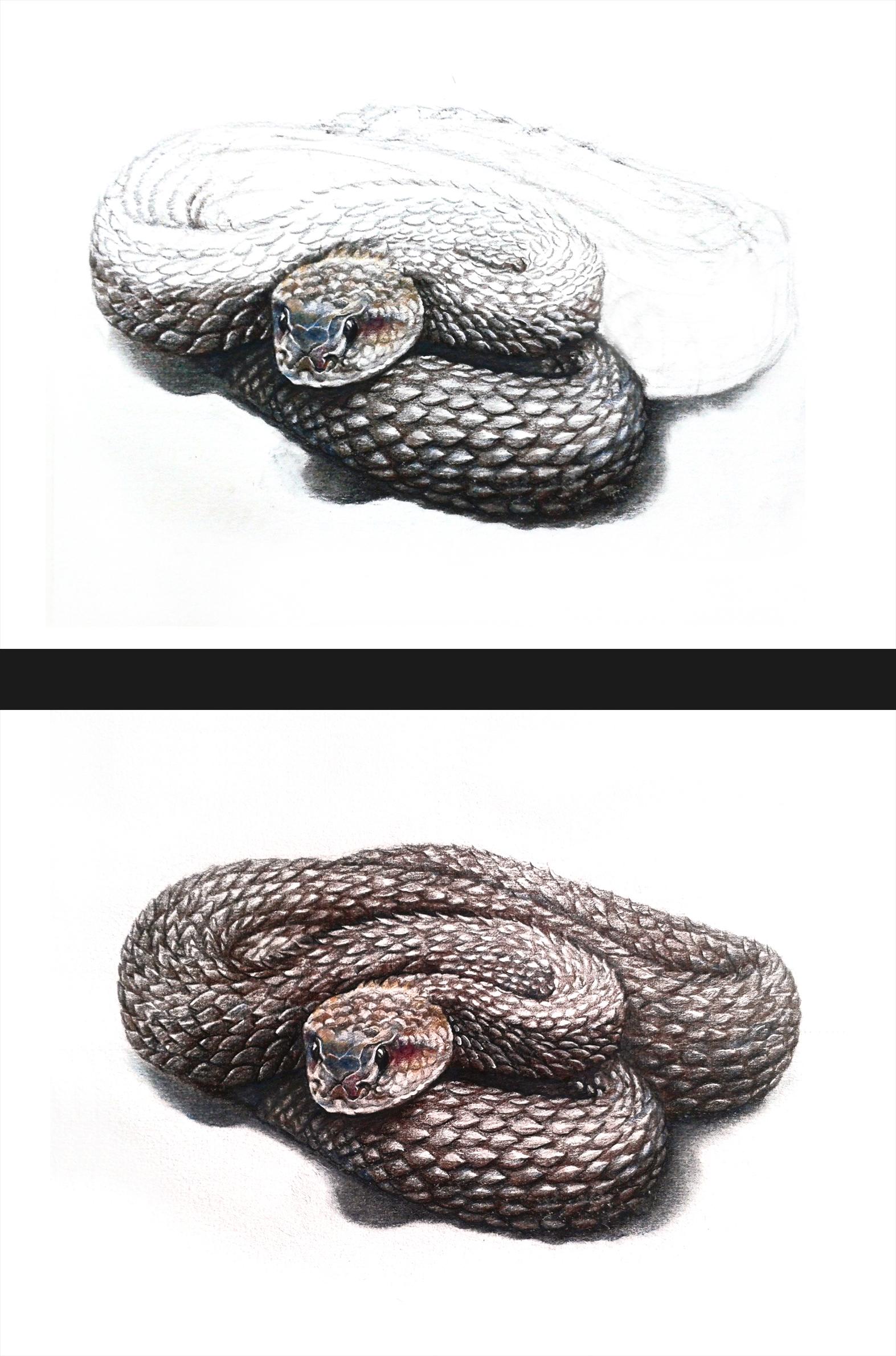 彩铅响尾蛇