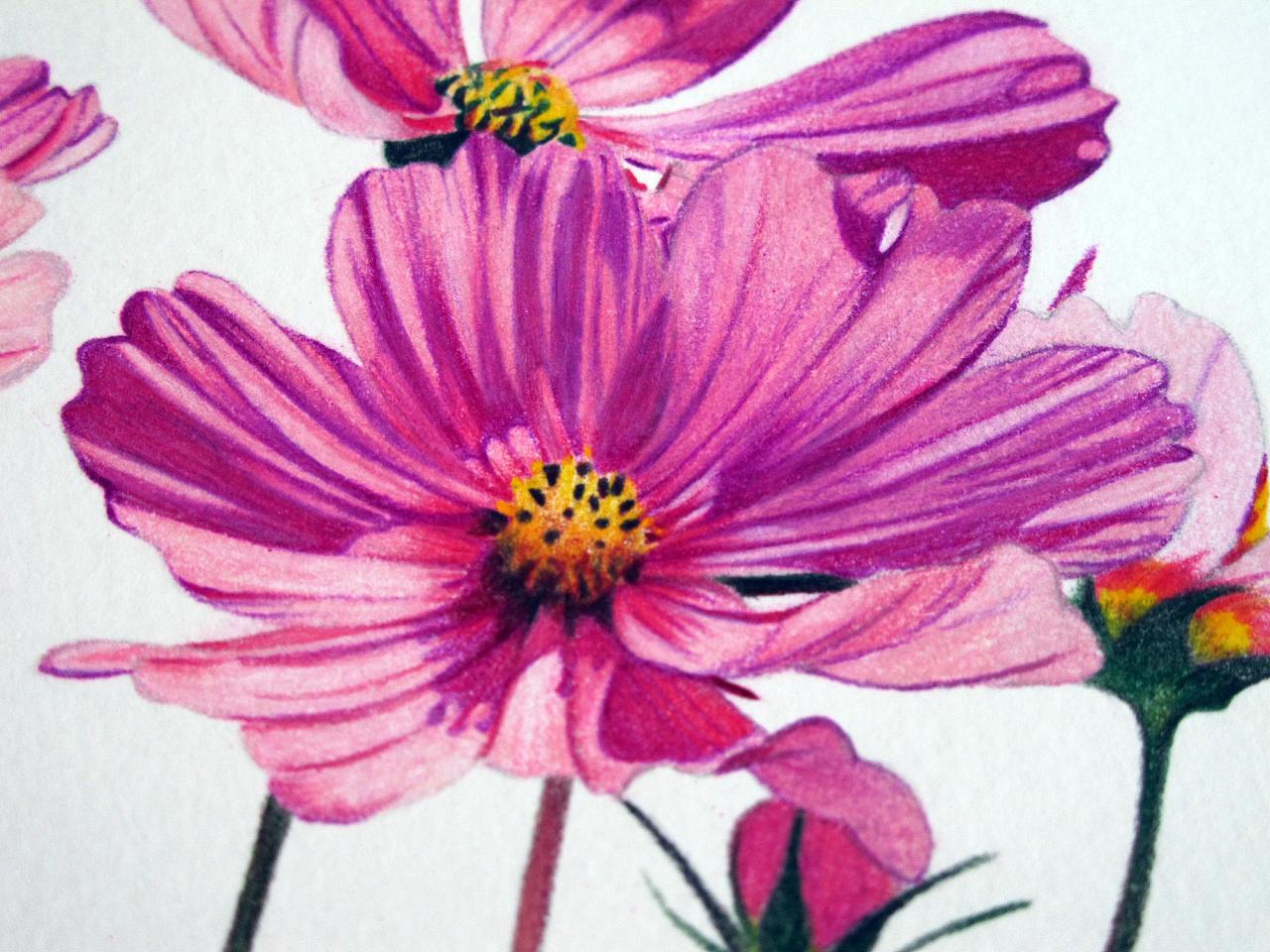 彩铅手绘—波斯菊