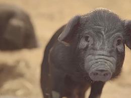 生态猪宣传片