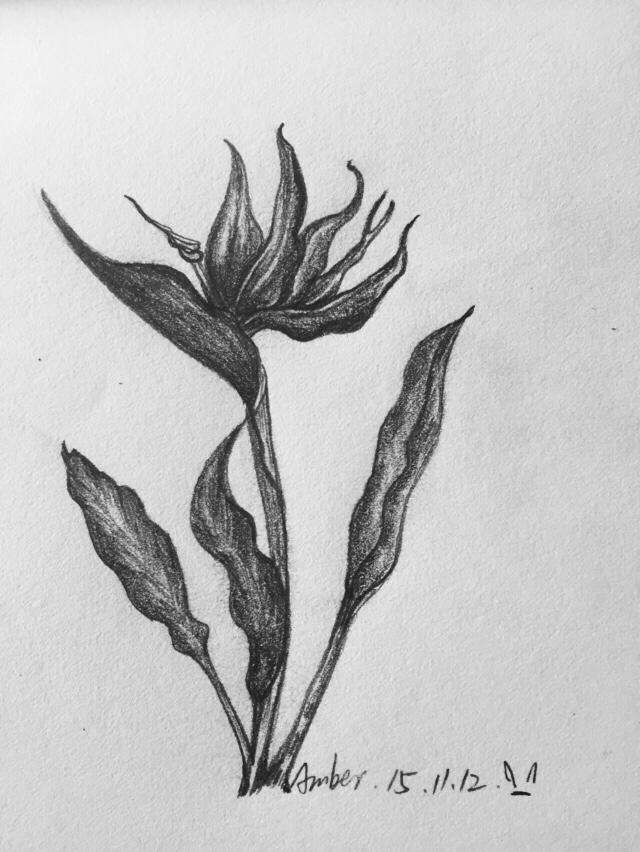 临摹素描-花卉 绘画习作 插画 amber兔子