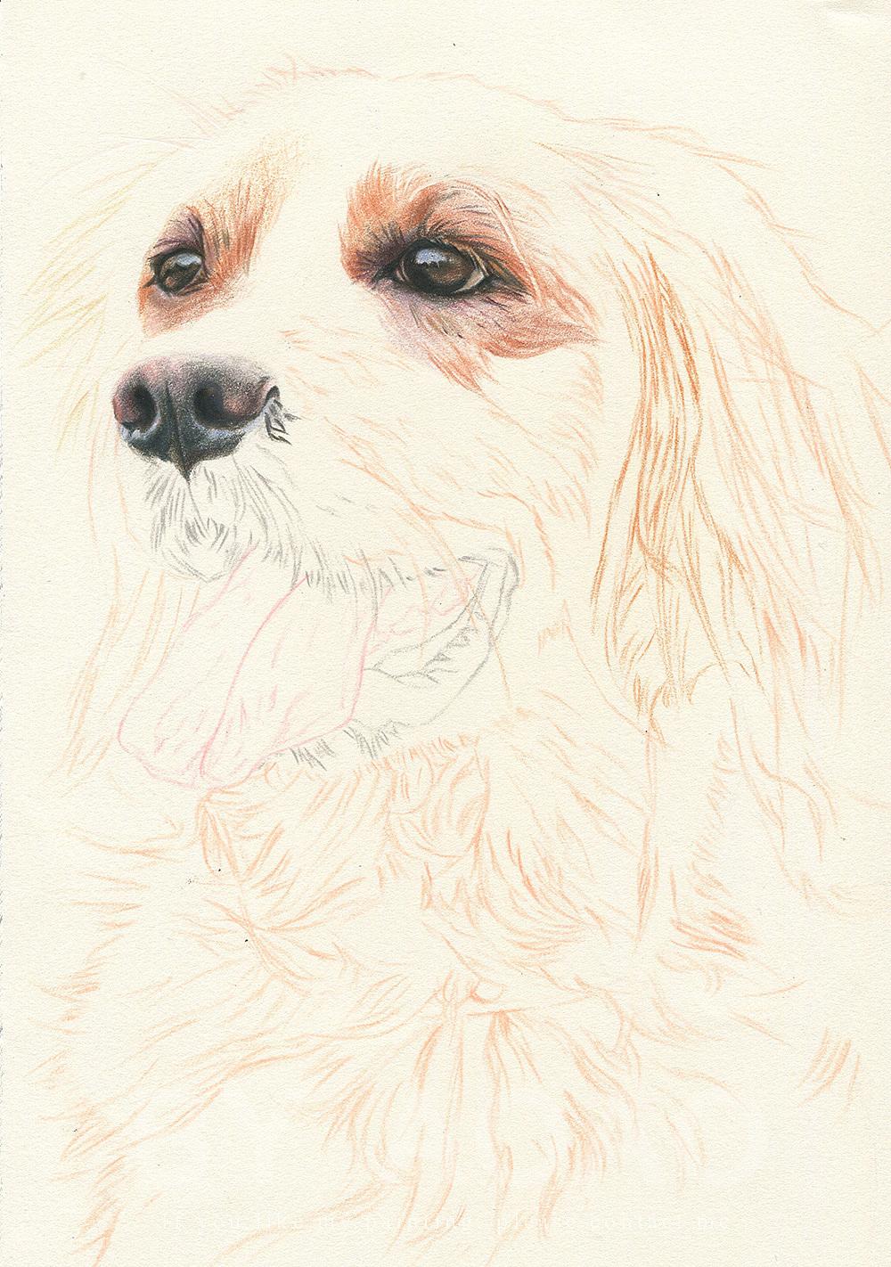 彩铅画——金毛|纯艺术|彩铅|阿沁手绘 - 原创作品