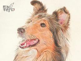 彩铅画喜乐蒂牧羊犬-阿沁作品