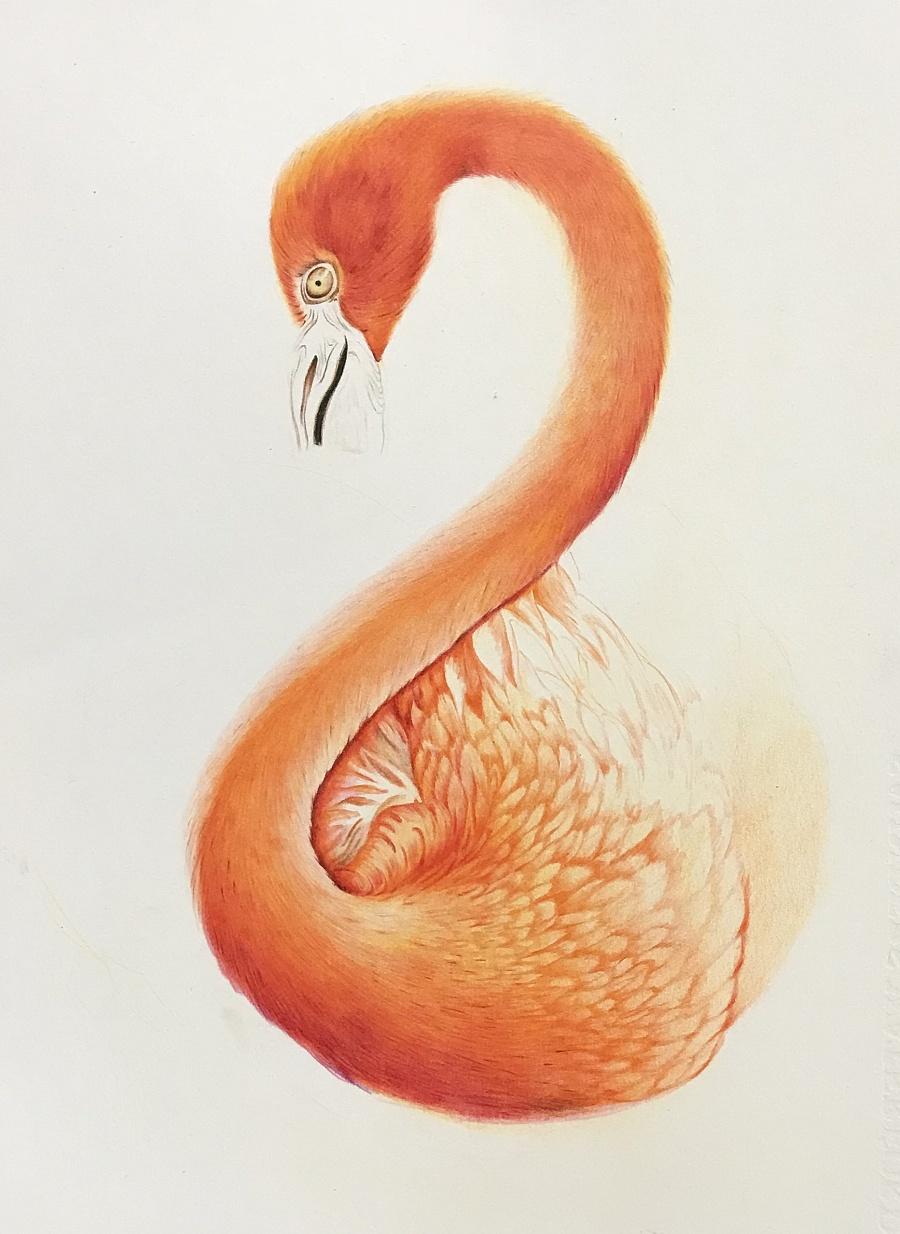 彩铅火烈鸟