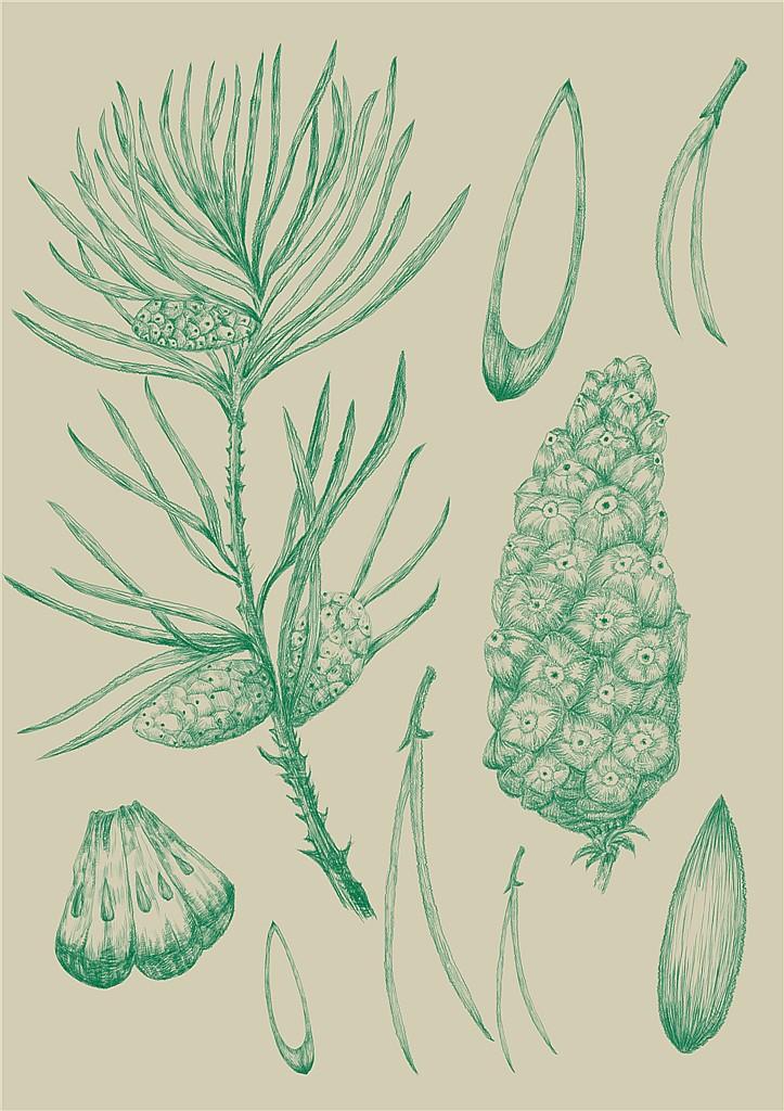 植物插画|商业插画|插画|vania2014 - 原创设计作品