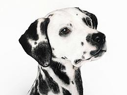 彩铅手绘——斑点狗