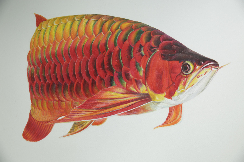 关于龙鱼的手绘彩铅画