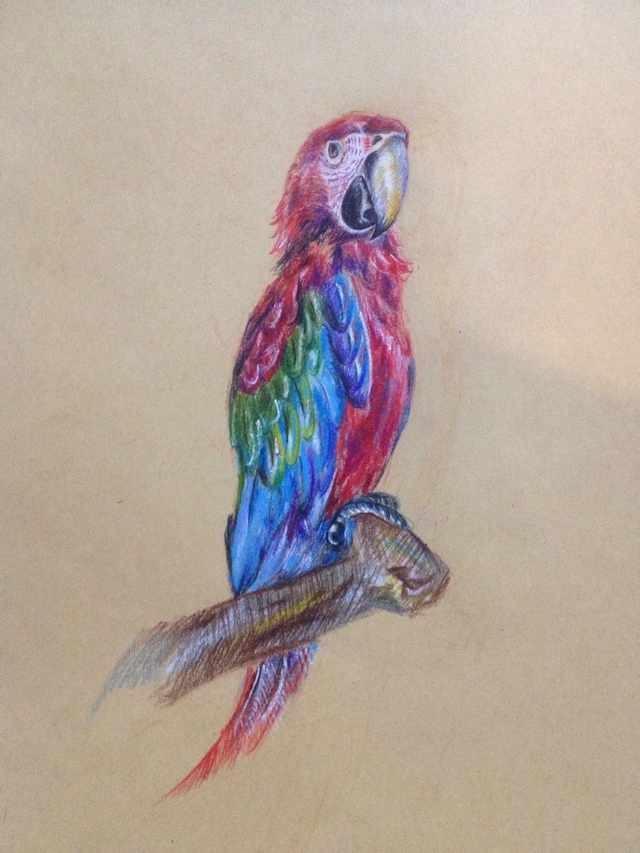 彩铅手绘金刚鹦鹉