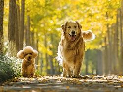 【均木纪实宠物摄影】秋季的黄-小美和葡萄的银杏季