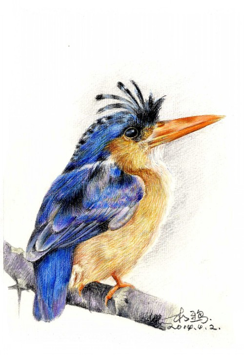 彩铅鸟类手绘——鱼狗