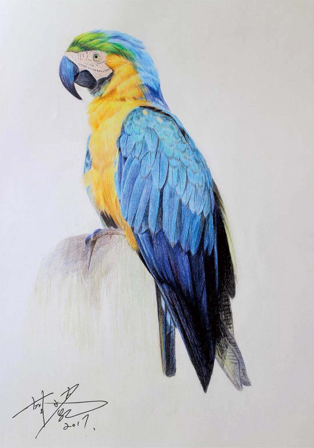 彩铅画(动物)鹦鹉
