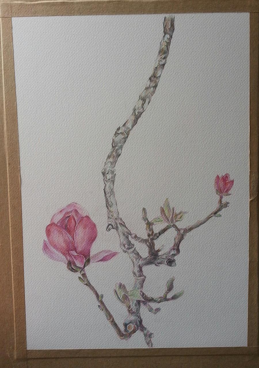 彩铅——玉兰花 (学自葱二)