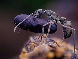 聚纹双刺猛蚁