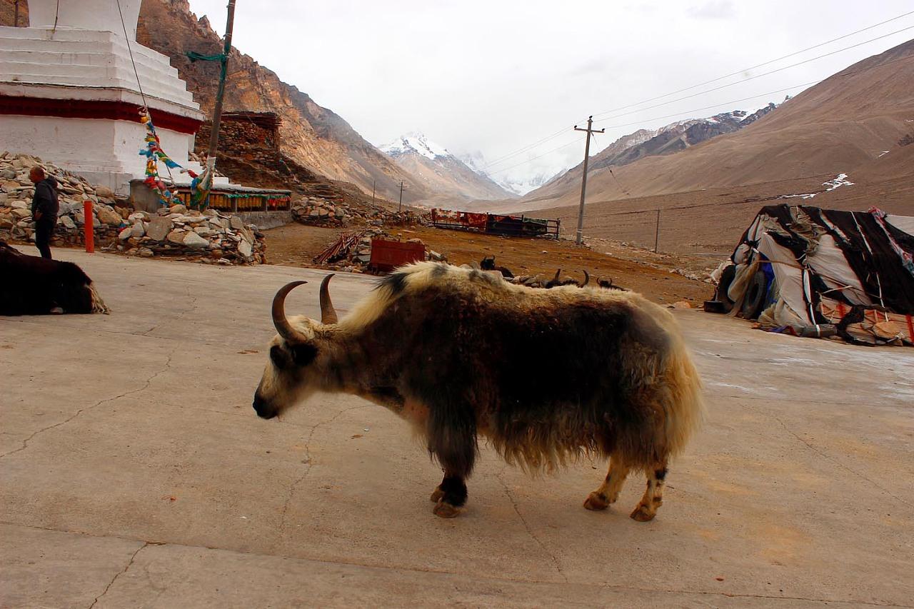 西藏最大的动物