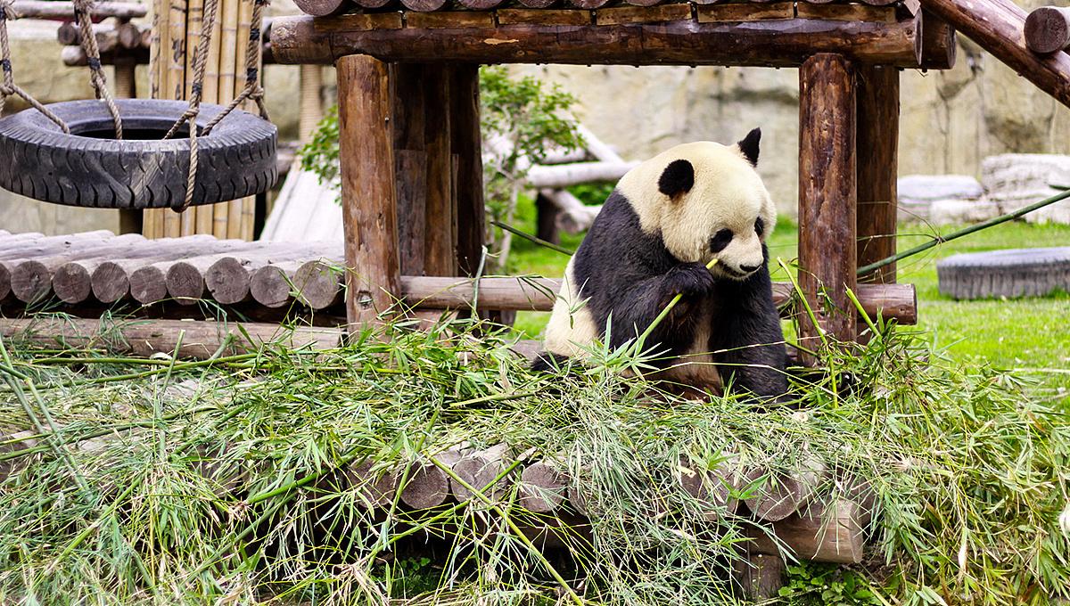 壁纸 大熊猫 动物 1200_680