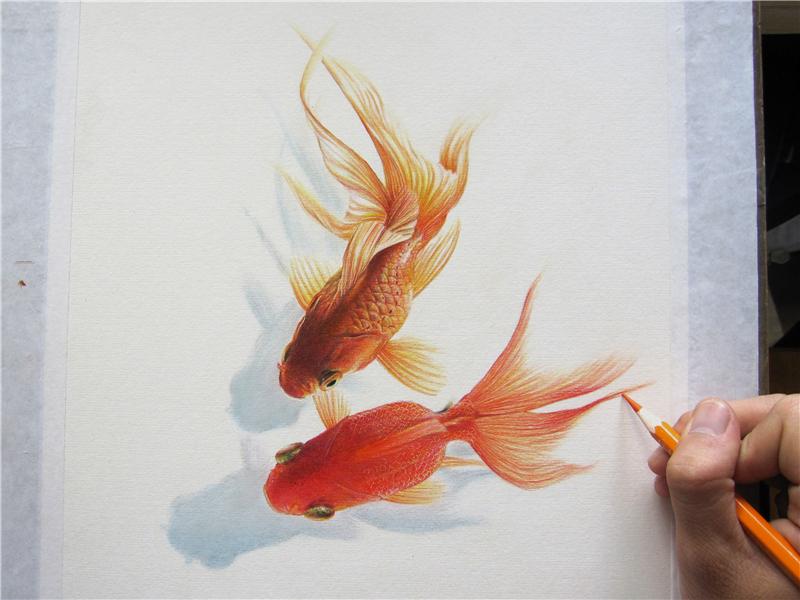 纸上彩铅--《金鱼·1系》过程随录