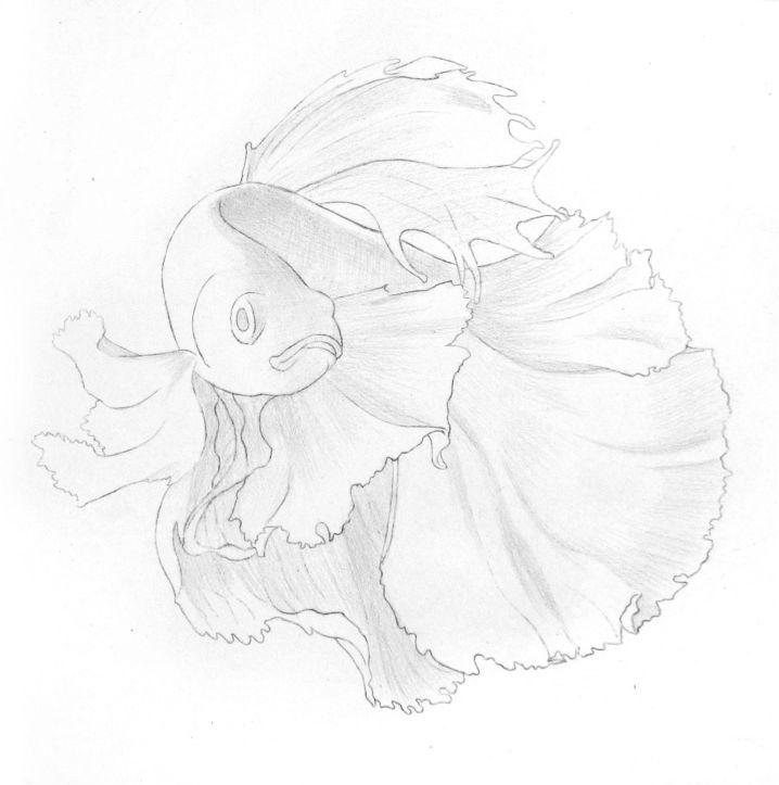 彩色铅笔画步骤教程:泰国斗鱼的画法