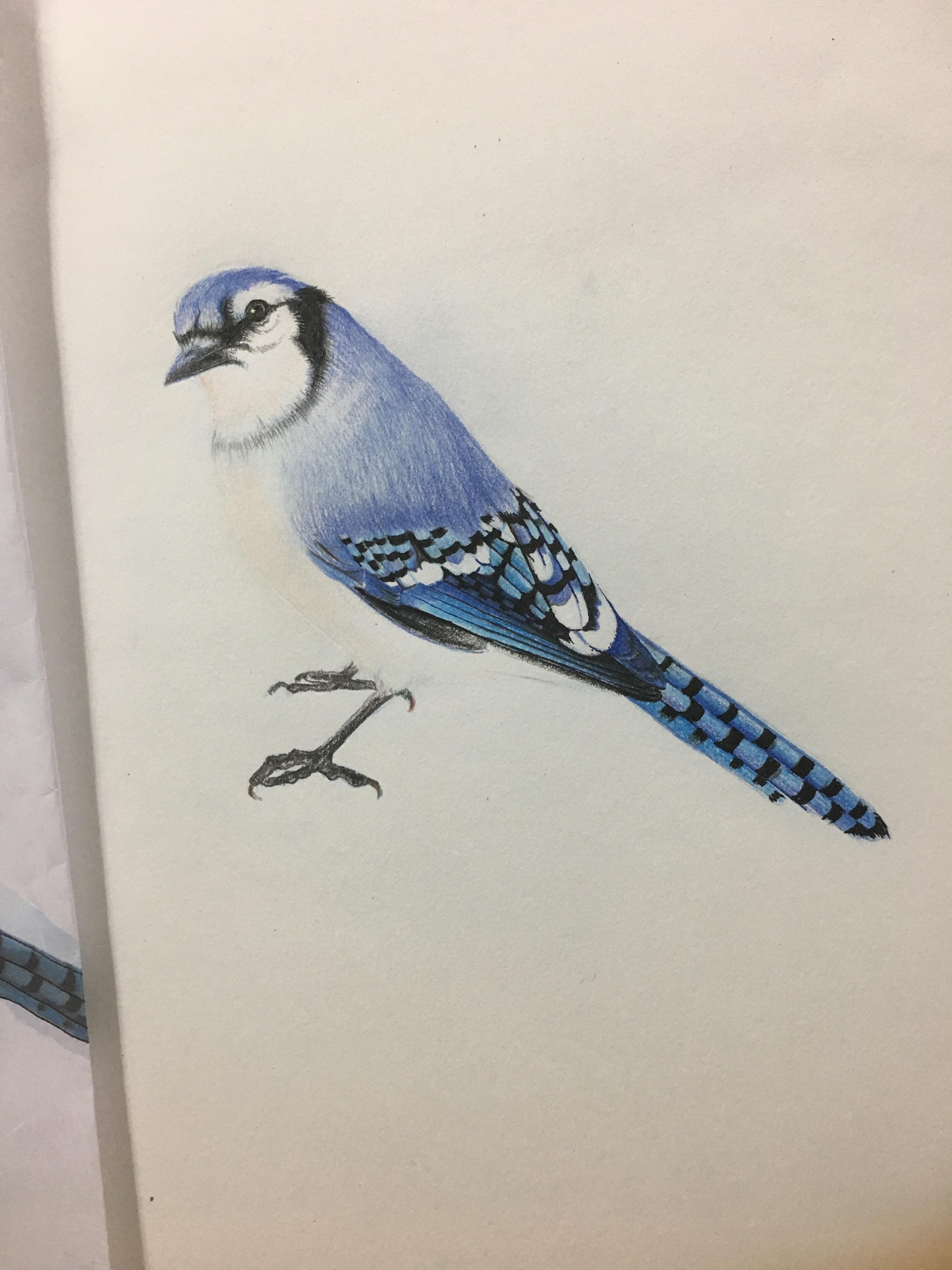 手绘彩铅 小鸟