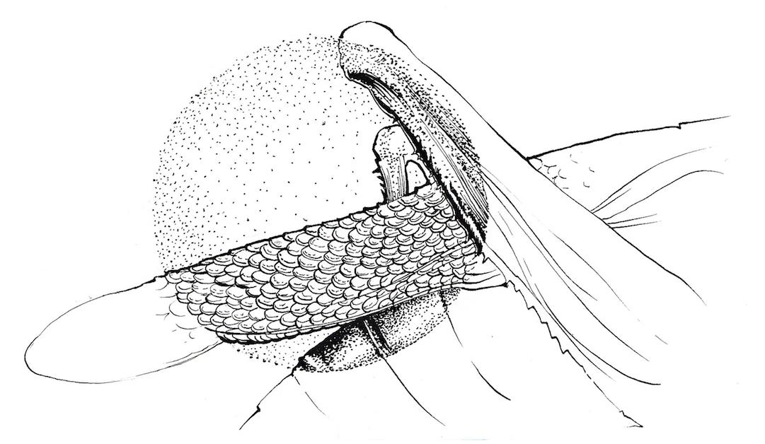 壁纸 简笔画 昆虫 手绘 线稿 桌面 1081_628