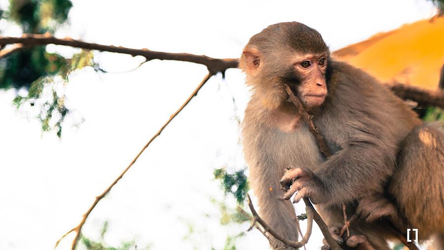行走与记录——黑龙滩的灵长类动物|动物|摄影|qiling