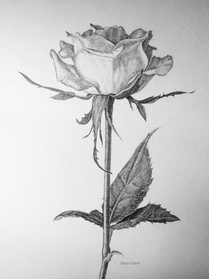 玫瑰花素描图片_玫瑰花素描图片画法