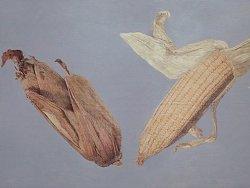 玉米,苹果,石榴