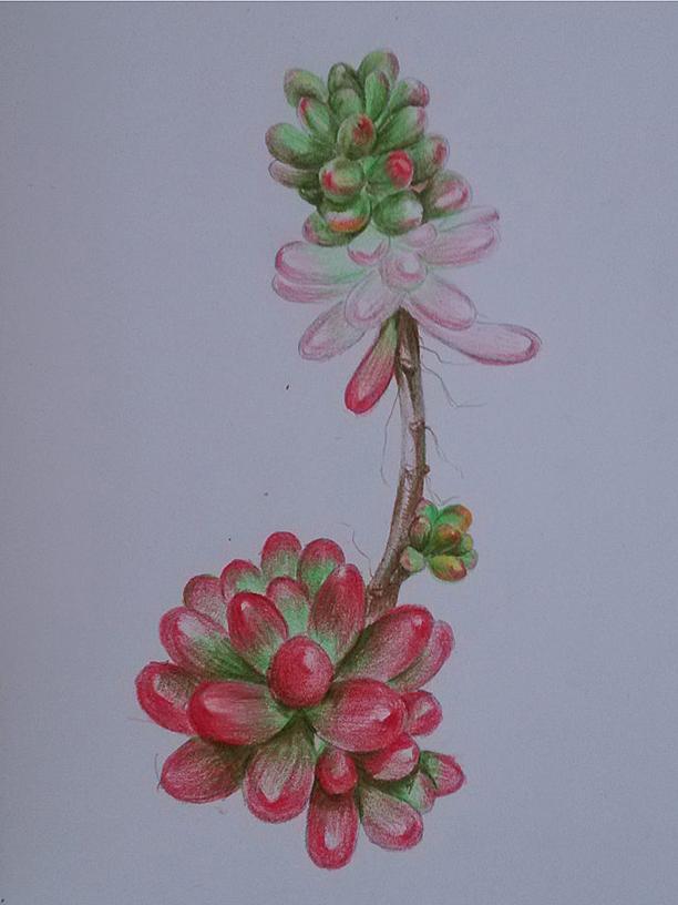 手绘多肉植物---彩铅画练习
