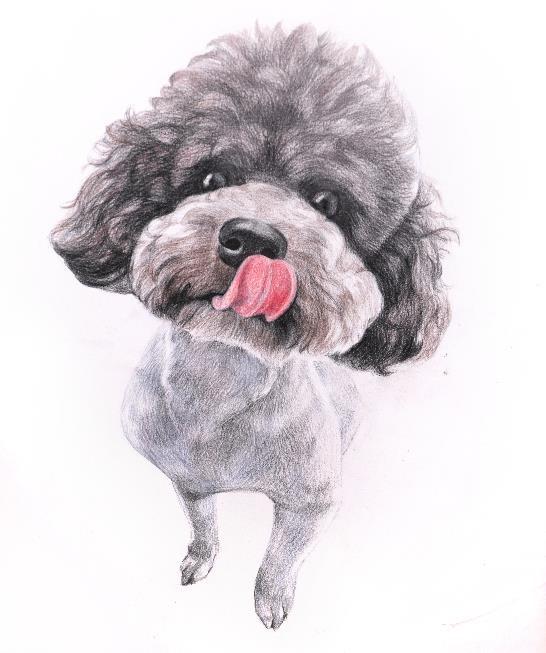 彩色铅笔画步骤教程:泰迪熊犬的画法