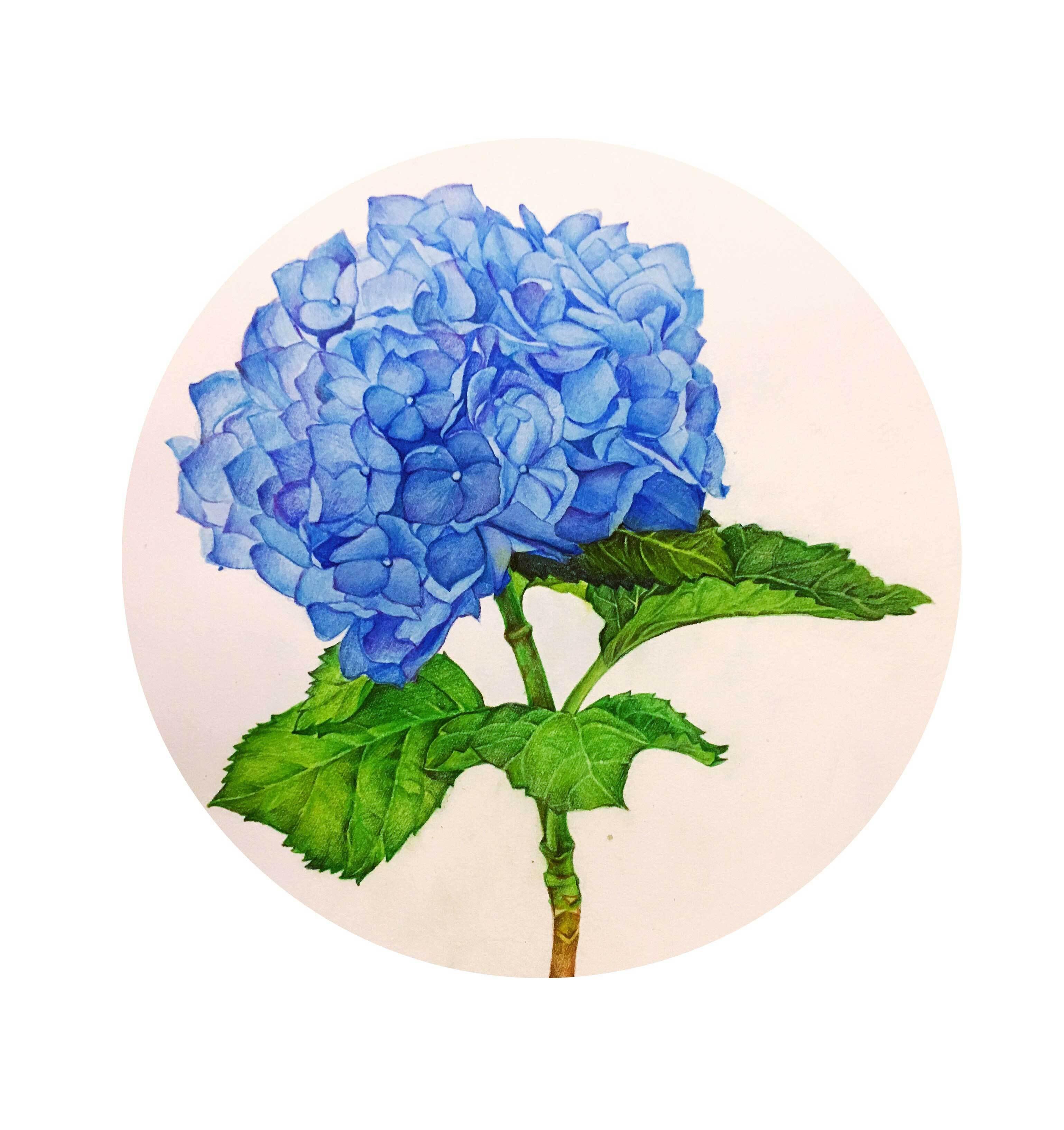 彩铅绣球花