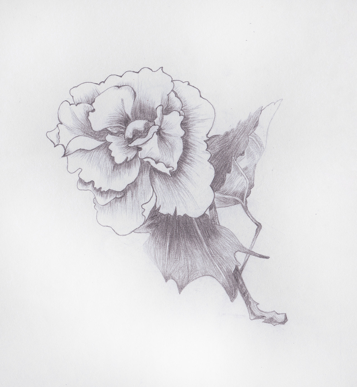 康乃馨-手绘
