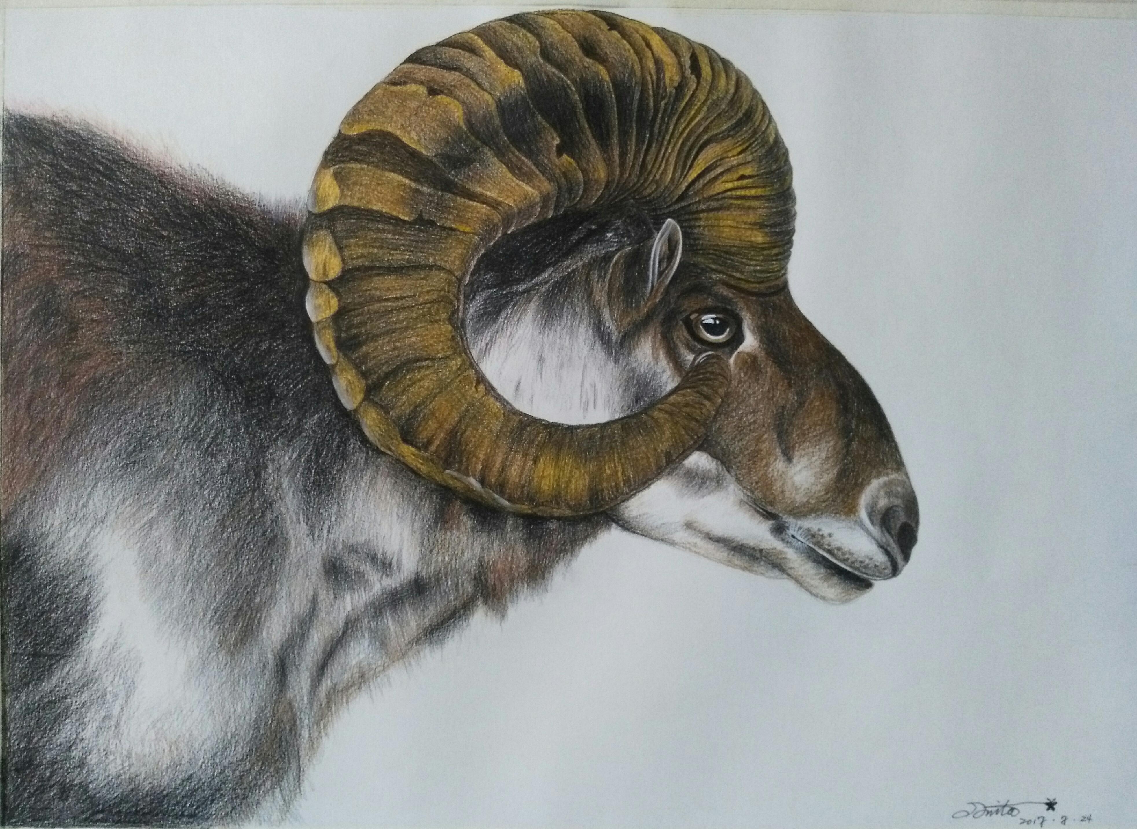 彩铅〈盘羊〉