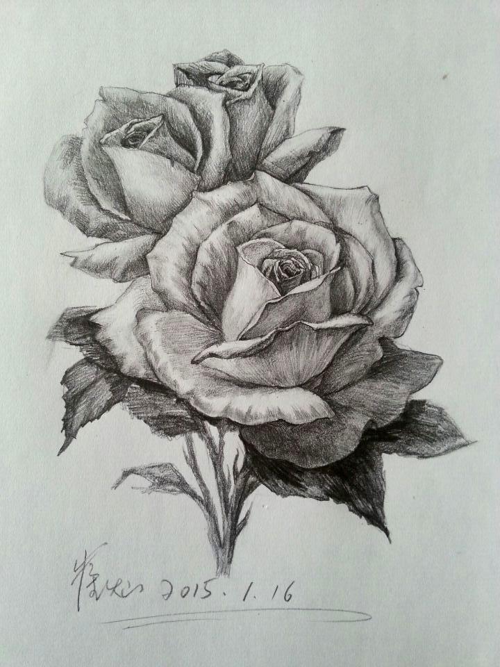 玫瑰的结构分解素描