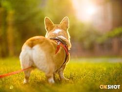 宠物摄影丨一只超级恋家的柯基-米格
