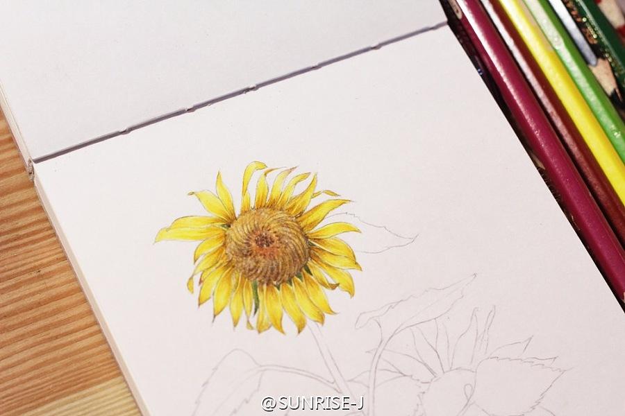 向日葵 彩铅手绘|商业插画|插画|sunrise805