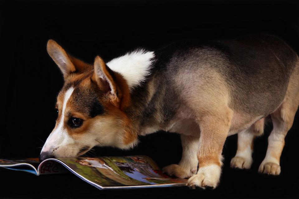 读书的狗狗 宠物摄影 宠物写真|摄影|动物|觉创宠物