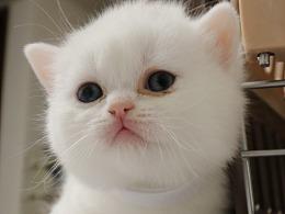 白色猫 163-英短-纯白-母-五粉-白色脖圈-头有灰色毛