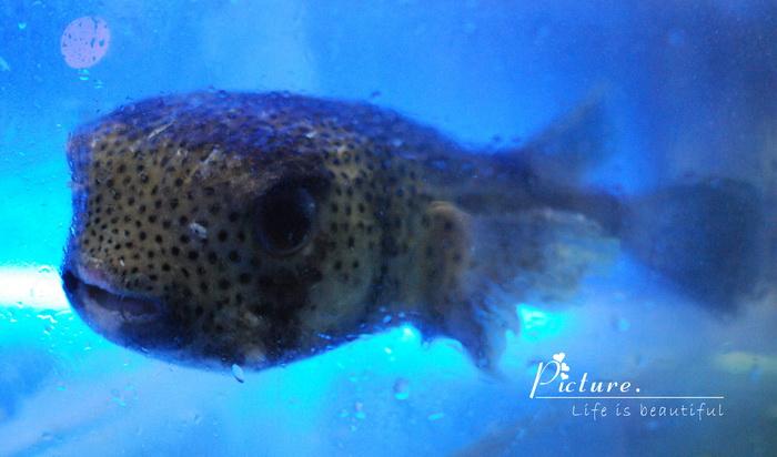 三亚老虎鱼图片