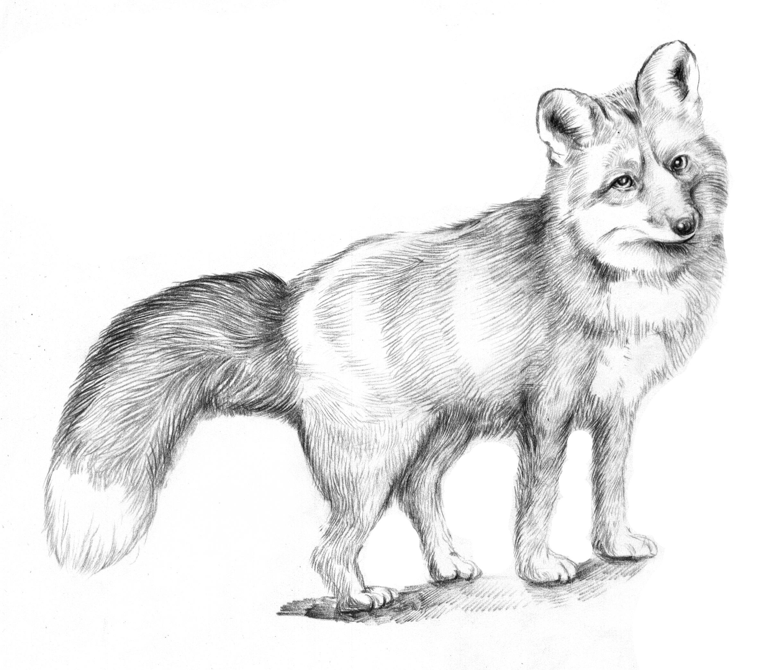 素描动物画 兔图片