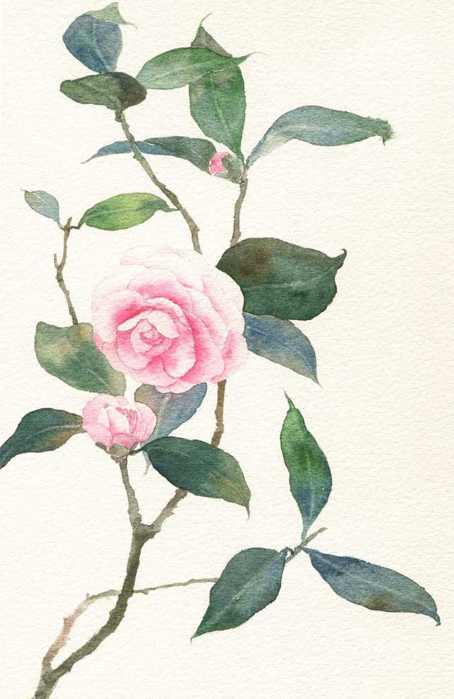 山茶花的手绘插画