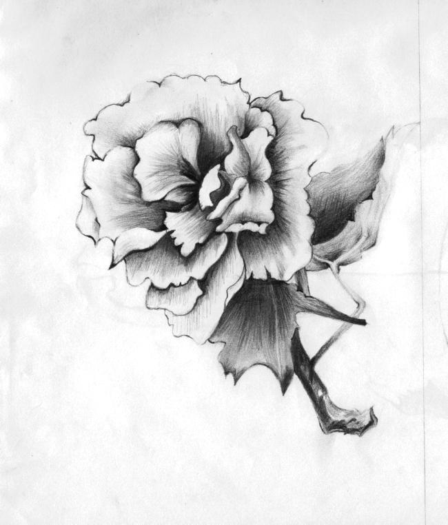 玫瑰花素描图片