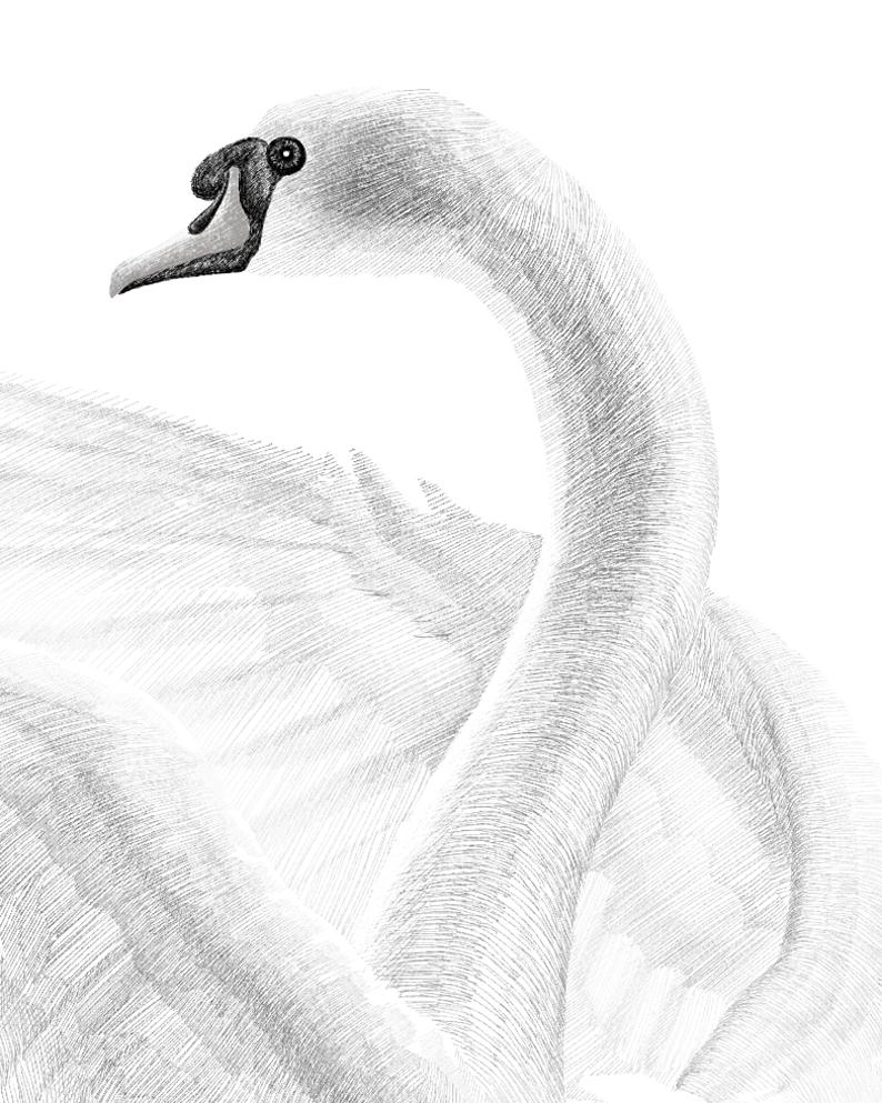手绘板—白天鹅|素描|纯艺术|雨戈宾果