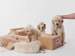 金毛puppy