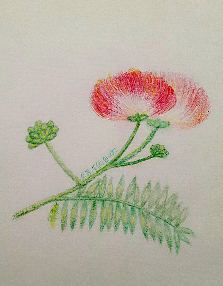 手绘合欢花