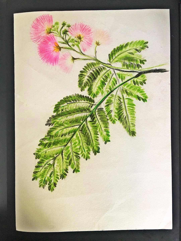 手绘线条合欢花图片
