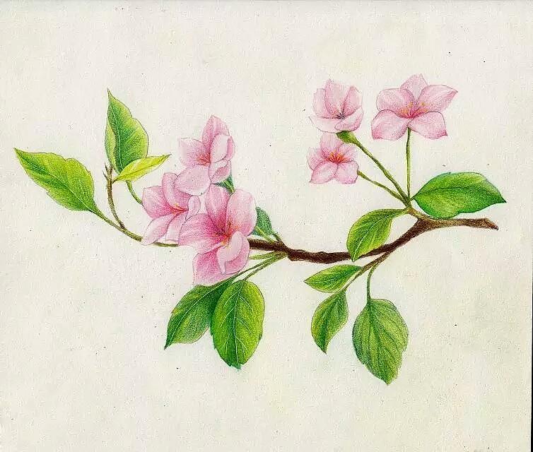 已商用的彩铅花卉~      图片