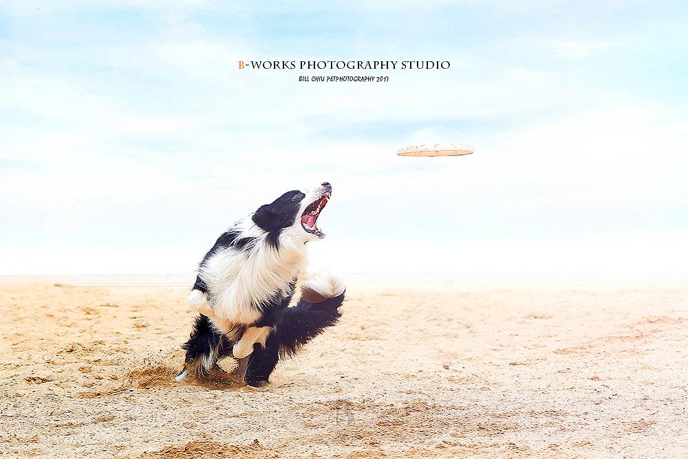 狗怀孕b图_【bworks熊工厂宠物摄影】-飞盘狗