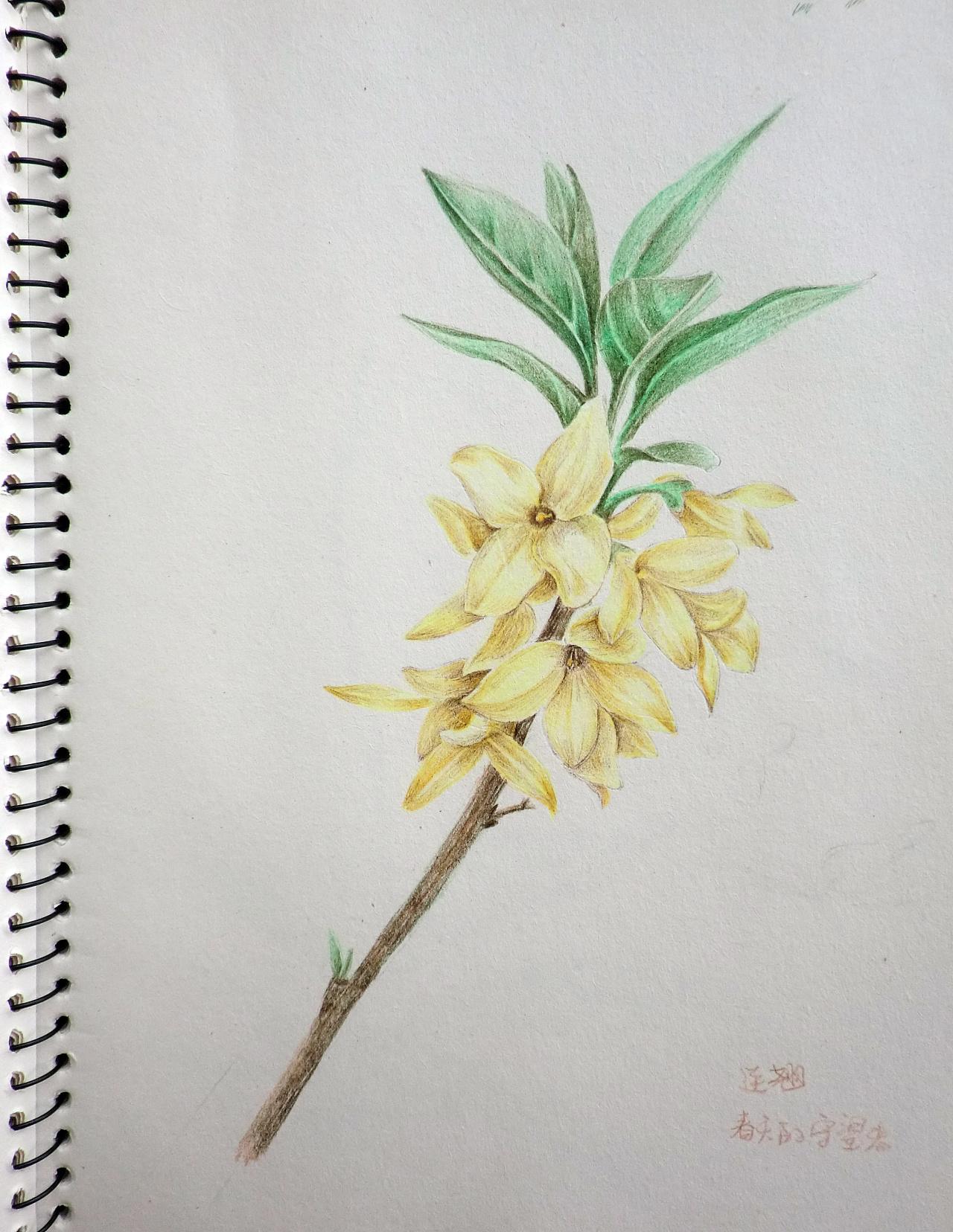彩色铅笔手绘画 ---花 2