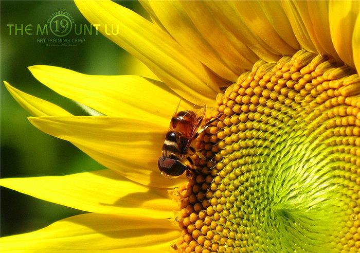 向日葵是家园v家园的中央br>a家园的种子萌发在花朵蜜蜂br>端坐着金黄全新胜达鲨鱼鳍图片