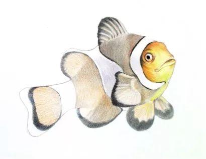 彩色铅笔画步骤教程:小丑鱼的画法