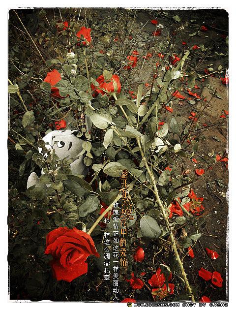 爱情不是树阴下的甜言蜜语,是一种能脚踏实地的真实感觉 玫瑰总是