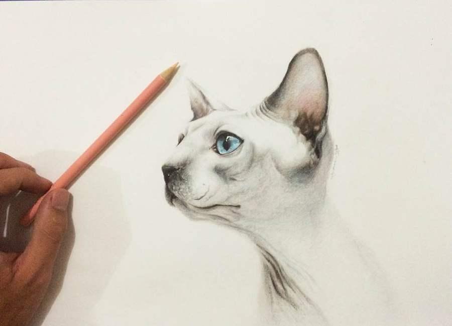 彩铅手绘 加拿大无毛猫